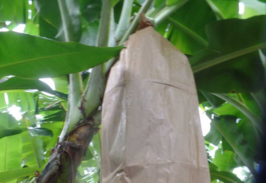 Banabag Banana Growing