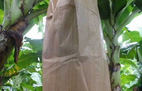 Banabag Banana Bagging Dry