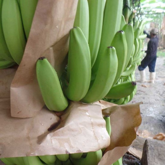 Banabag Banana Bagging Paper